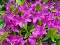 Rain Soaked Purple Azalea Flowers Royalty Free Stock Photo