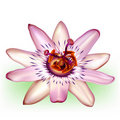 Photo-realistic passion flower Royalty Free Stock Photo