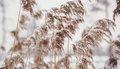 Photo of reed covered in snow Royalty Free Stock Images