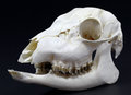 Hornless roe deer skull on a white background