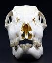 Photo of roe deer skull