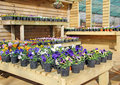 Photo showing potted pansies nursery based whitstable kent Stock Photo