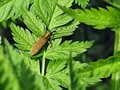 Picture : Golden beetle with long whiskers on green leaves of grass background  wounded