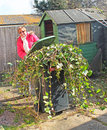 This photo shows a woman struggling to pull a full bin full of green ivy after a clearing the back yard Stock Photos