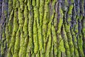 stock image of  Relief texture of the bark of oak with green moss and lichen.