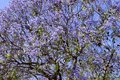 stock image of  Photo of a tree with purple flowers
