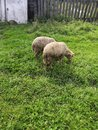 Two sheep in the village