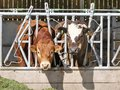 Bull and cow eating grass through pen fence