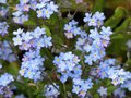 Myosotis alpestris or alpine forget-me-not flowers