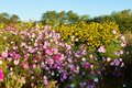 The pink coreopsis flowers and yellow flowers