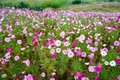 The pink cosmos flowers and green leaves