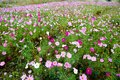 The pink flowers in the fields
