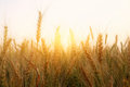 photo of wheat field at sunset Royalty Free Stock Photo