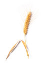 Photo of wheat on white image stalk isolated background Stock Photo
