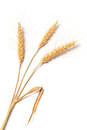 Photo of wheat on white image stalk isolated background Royalty Free Stock Image