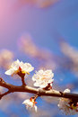 Photo of white apricot tree flowers outdoor Royalty Free Stock Photos