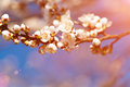 Photo of white apricot tree flowers vintage in spring Royalty Free Stock Photo