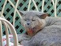 Yawning pedigree cat on garden chaise Royalty Free Stock Photo