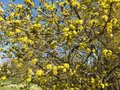 Pretty Yellow Blossoms in Pre Spring in March Royalty Free Stock Photo