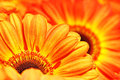 Photo of yellow and orange gerberas, macro photography and flowers background