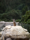 Photo the young animal in the zoo ground squirrel outdoors Stock Image