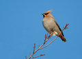 Photograph beautiful bohemian waxwing perched winter branch cold clear winter sky as background Stock Photos