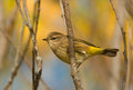 Photograph of a beautiful fall plumaged palm warbler perched sideways on a twig displaying its underside in an autumn woodland Royalty Free Stock Photography