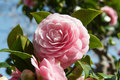 Photograph double flowered camellia Royalty Free Stock Photo