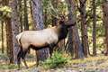 Bull Elk in Rocky Mountain National Park Royalty Free Stock Photo