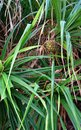 Pandanus Odorifer - Kewda or Umbrella Tree with Leaves and Unripe Fruit - Pine - Tropical Plant of Andaman Nicobar Islands Royalty Free Stock Photo