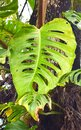 Swiss Cheese Plant - Monstera Deliciosa - Large Green Leaf with Holes and Perforations Royalty Free Stock Photo