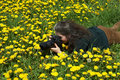 Photographer and dandelions Royalty Free Stock Photo