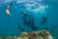 Photographer Diver approaching sea lion family underwater Royalty Free Stock Photo