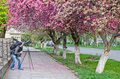 Photographer a takes pictures off flowering of sakura Stock Images