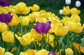 Photography of flowering tulips in spring Royalty Free Stock Photo
