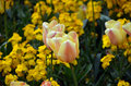 Photography of flowering yellow tulips in spring Royalty Free Stock Photo