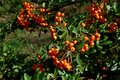 Photography of a orange narrowleaf firethorn Pyracantha angustifolia Royalty Free Stock Photo