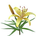 Photorealistic illustration of yellow tiger lily isolated on white background one flower bud and several leaves Stock Image
