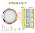 Photoreceptor cells in the retina of the eye Royalty Free Stock Photo