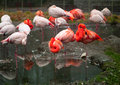 Photos of animals flock of pink flamingos resting in the river Stock Image