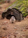 Photos of animals meerkats in nature looks away Royalty Free Stock Photo
