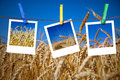 Photos of wheat hang on rope with pins Royalty Free Stock Images