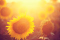 Photosynthesis backlighting sunflower detail vintage macro shot cross color effect Stock Photos