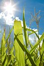 Photosynthesis and growth the sun shines brightly on green cornstalks causing flare allowing Royalty Free Stock Image