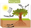Photosynthesis Process in Plant Diagram