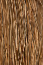 Phragmites australis, the common reed Stock Photos