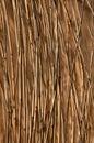 Phragmites australis, the common reed Stock Photos