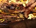 Phylloscopus canariensis on the organic soil wild bird Royalty Free Stock Photos