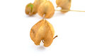 Physalis alkekengi isolated on a white background Royalty Free Stock Photos