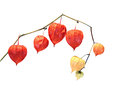Physalis berry plant (Chinese lantern) isolated Royalty Free Stock Photo